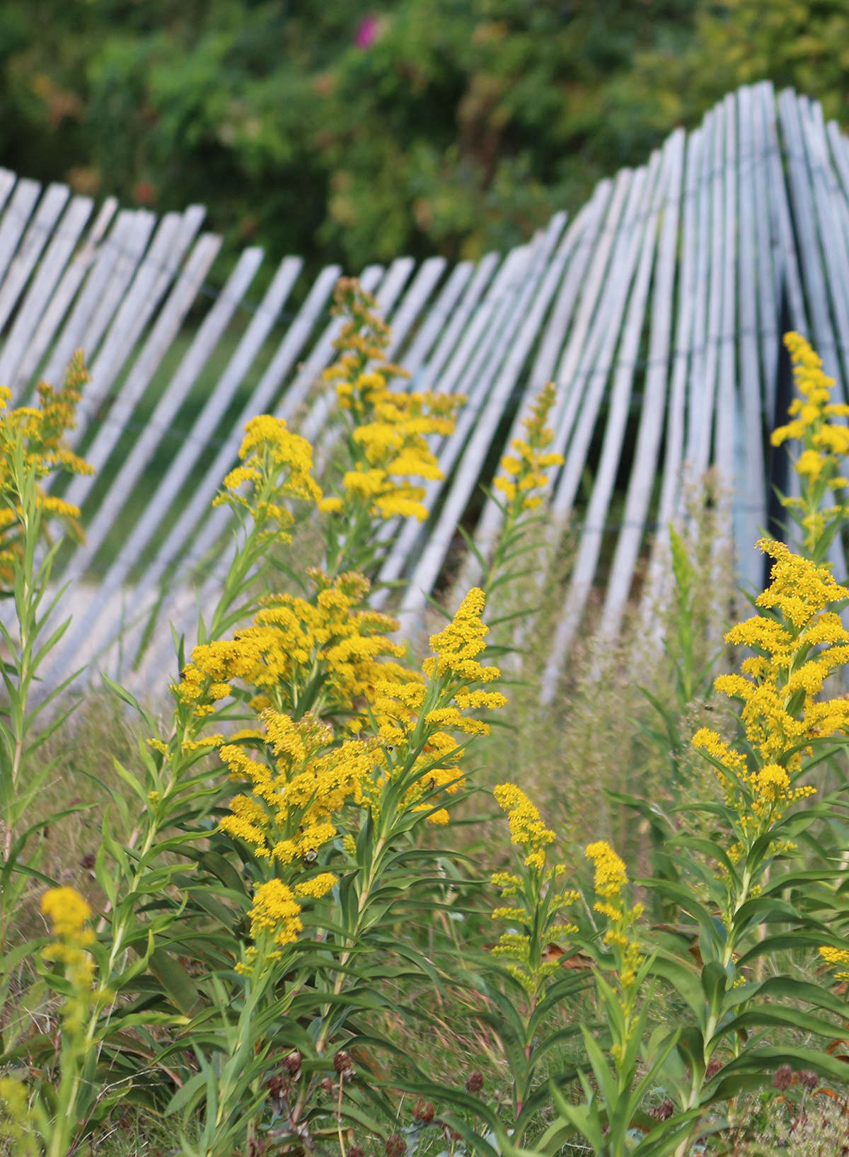 I have had more than one tense conversation with someone who is absolutely convinced that goldenrod is ragweed (Ambrosia species) or that it causes seasonal allergies.