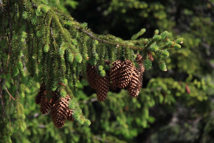 Pine cone territory in the Transylvanian village of Piatra Fantanele. Photograph by Cristian Bortes via Flickr.