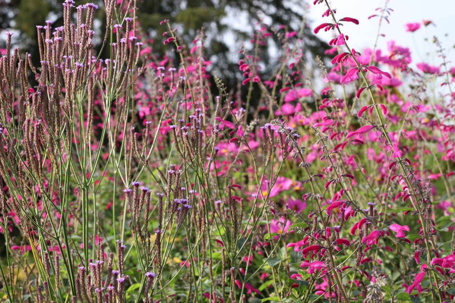 Tall and stately Salvia curviflora with Verbena macdougalii 'Lavender Spires' at Gravetye.
