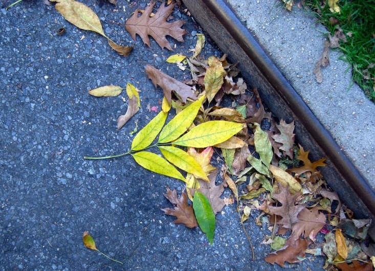 The leaves of the white ash tree turn a vivid yellow in autumn. Photograph by Virens via Flickr.
