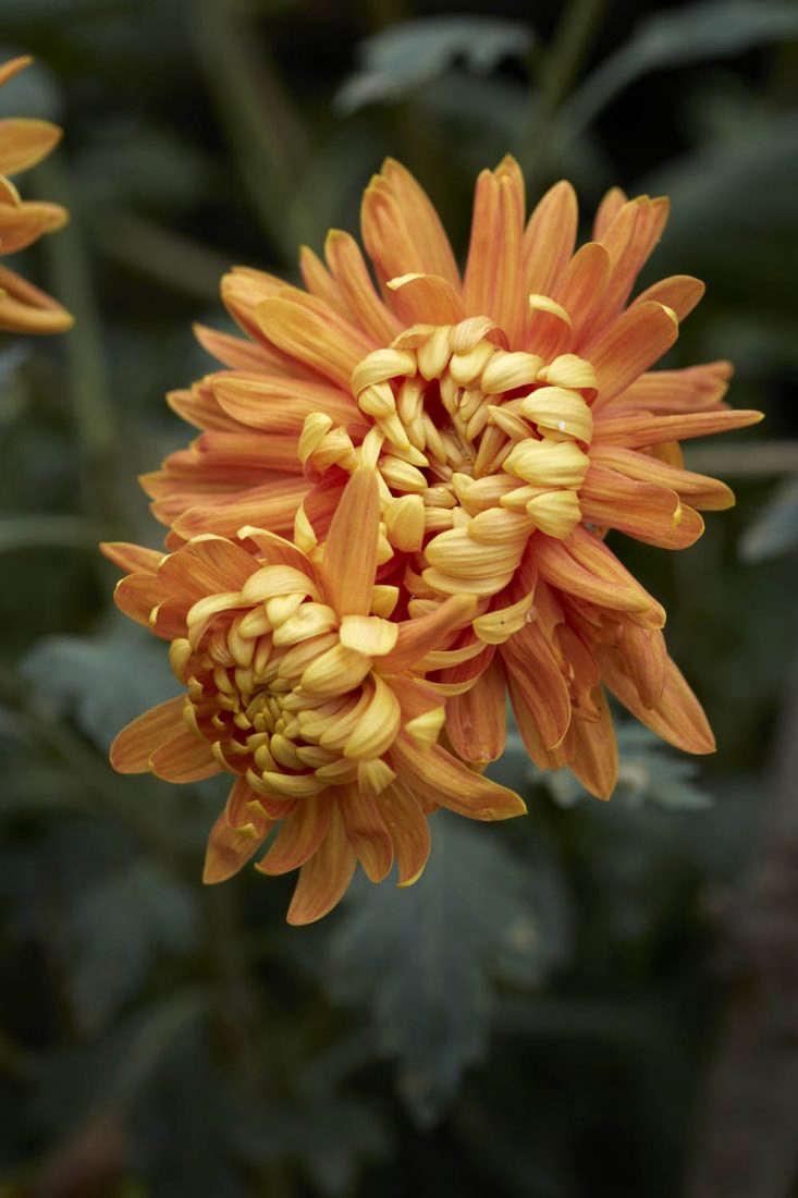 Chrysanthemum &#8