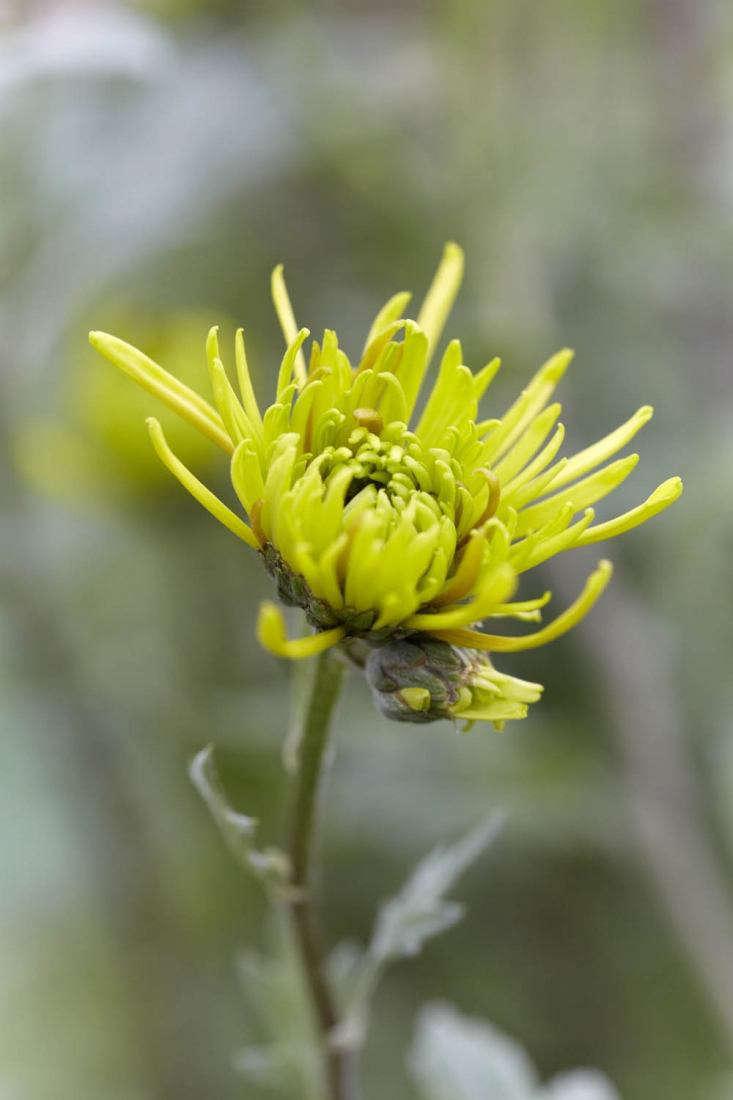 &#8\2\16;Shamrock&#8\2\17;, a green spider chrysanthemum.