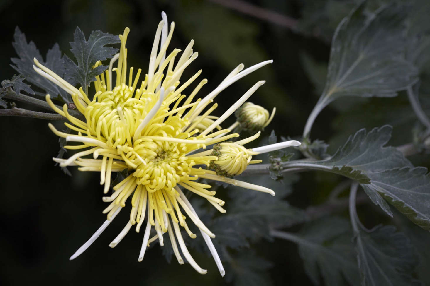 Spider mums earned their nickname from the long, slender shape of their petals, which resemble spiders&#8