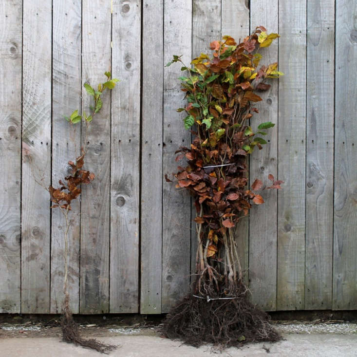 Bare Root Beech Plants (Fagus sylvatica) make good hedging plants are available in various sizes for prices from £loading=