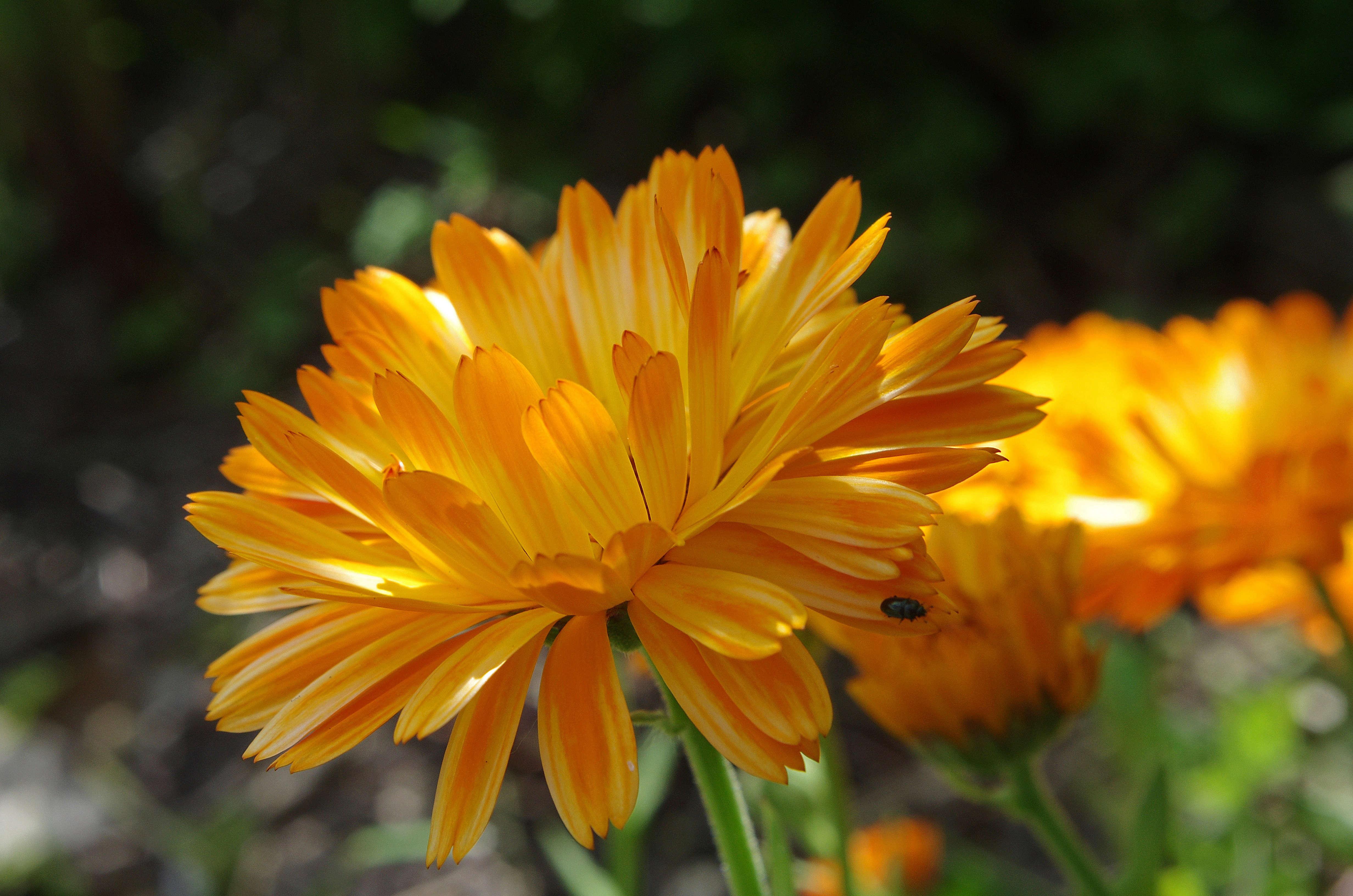 Gardening 101: Calendula - Gardenista