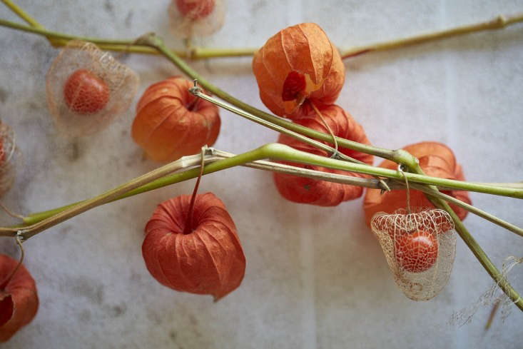Chinese lanterns are also known romantically as Amours en Cage (Love in a Cage), because of the fruits that are revealed after the cases have dried out.