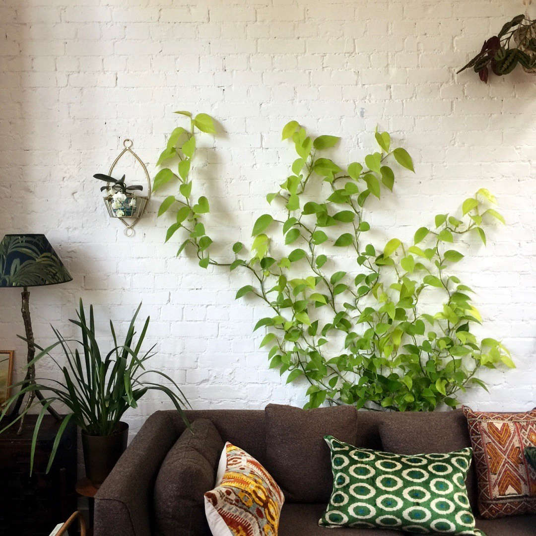 See more of this spectacular pothos vine in Jamie's Jungle: At Home with Houseplants in London. Photograph by @Jamie Song.