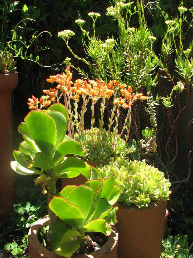 Crassula perfoliata var. heterotricha mingles with echeveria and cotyledon. Photograph by Seán A. O&#8