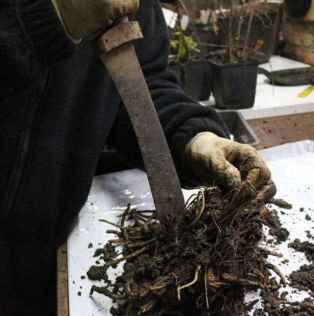 At Coton Manor in England, &#8\2\20;the head of the plant nursery Caroline Tait uses a large knife for dividing tougher knots, for example the roots of Vernonia, shown here,&#8\2\2\1; writes Kendra. Photograph by Kendra Wilson. For more, see Garden Visit: A Peek Inside the Potting Shed at Coton Manor.