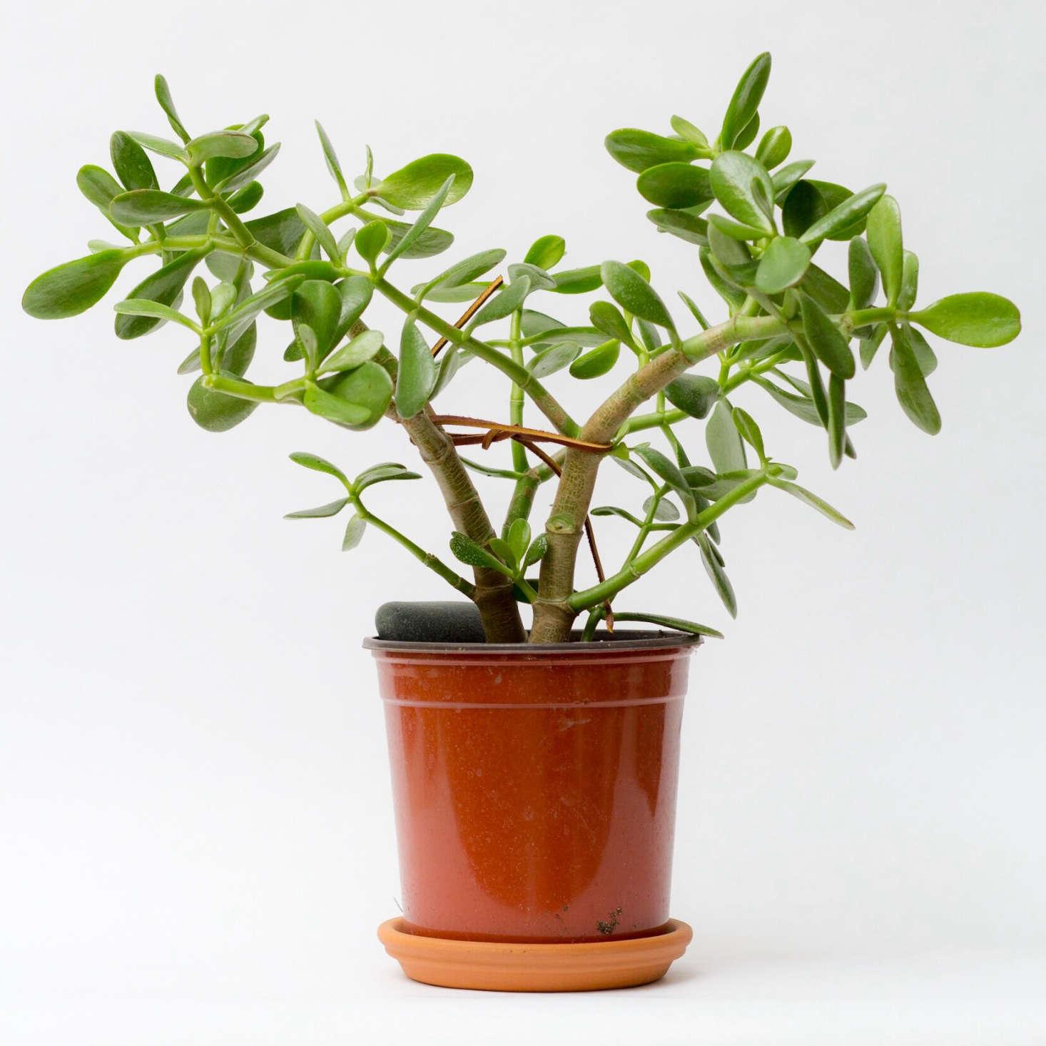 Gardening 101 Jade Plant Gardenista