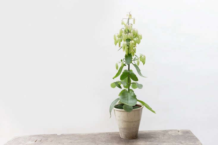A Kalanchoe Magic Bells is about \24 inches high; £\17.50 (pot sold separately).