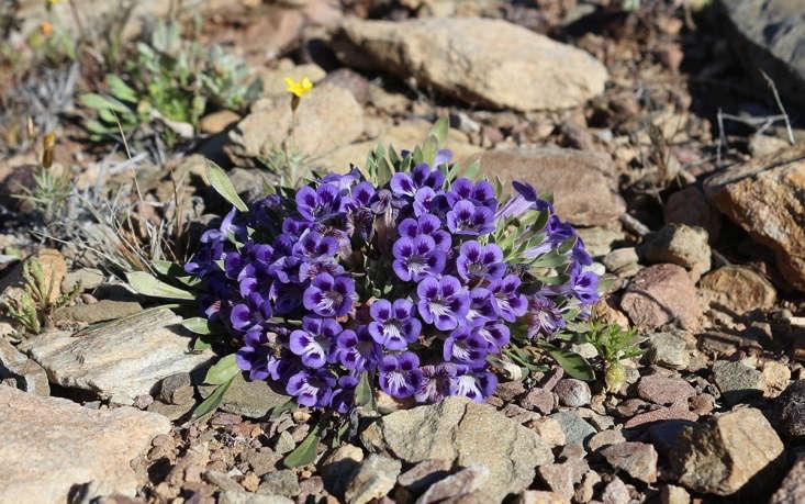 Karoo violets by Marie Viljoen