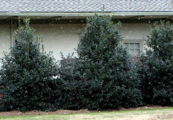 Nellie R. Stevens holly trees create privacy on a perimeter. Photograph by redagainpatti via Flickr.