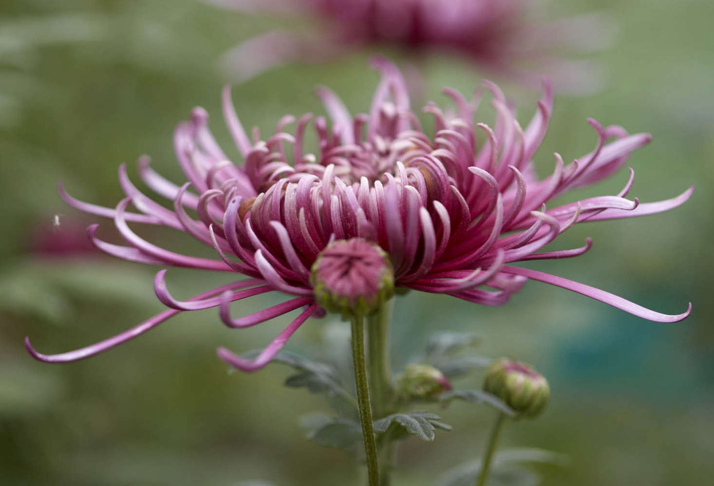 Spider chrysanthemum 'Saratox Lilac' is in bloom in the garden at Bayntun Flowers. See more at Chrysanthemums: Rethinking a Fast-Food Flower. Photograph by Britt Willoughby Dyer.