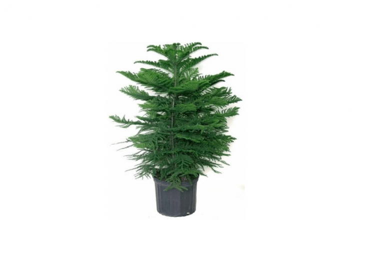 Available in four heights (from 4 to \14 inches), aNorfolk Island Pine is available for from \$\14.95 to \$\1\20 depending on size from Garden Goods Direct.