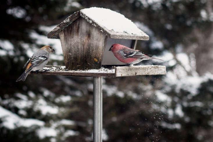 Pine grosbeaks on a bird feeder. Photograph by Sharon Mollerus via Flickr.