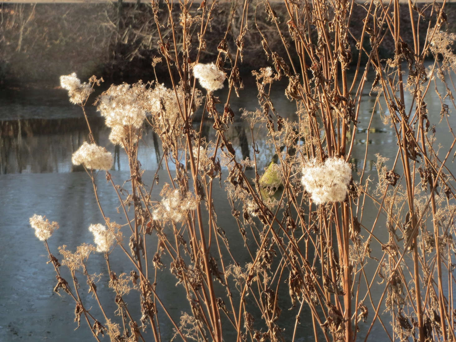 Eupatorium cannabinum in December. Photograph by Andreas Rockstein via Flickr.