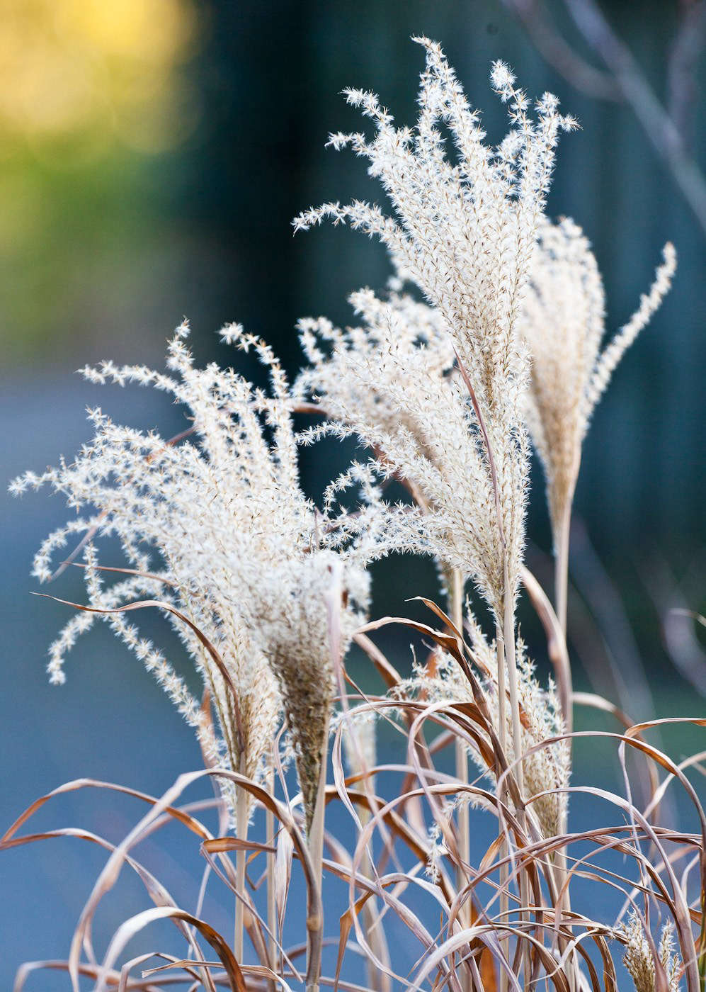 Miscanthus in February. Photograph by alhsrc=