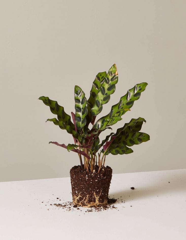 Blank predicts that the Calathea &#8