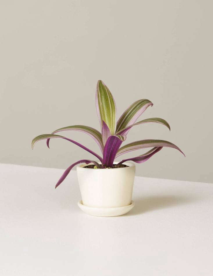 ATricolor Oyster Plant and Ezra Planter,