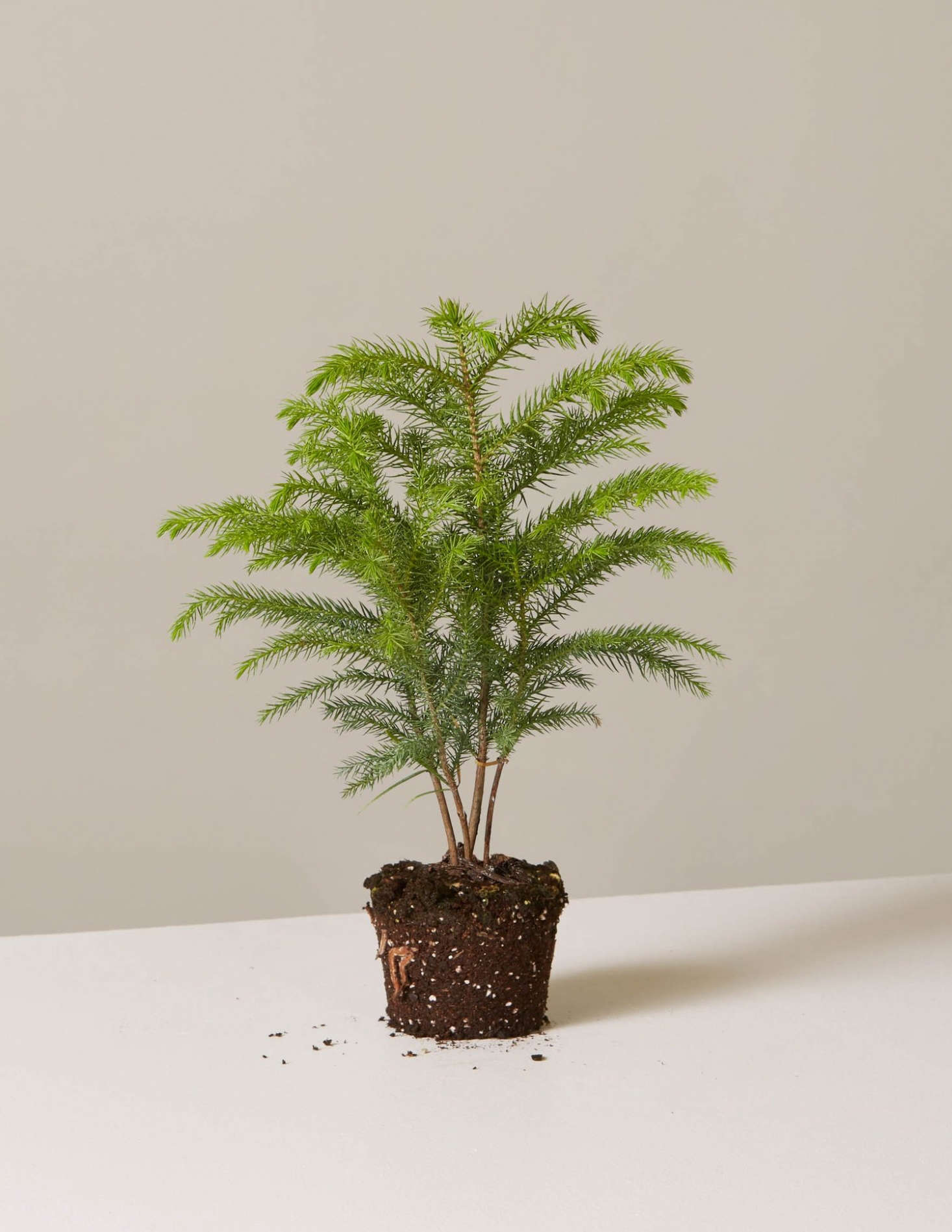 A potted Christmas tree that&#8