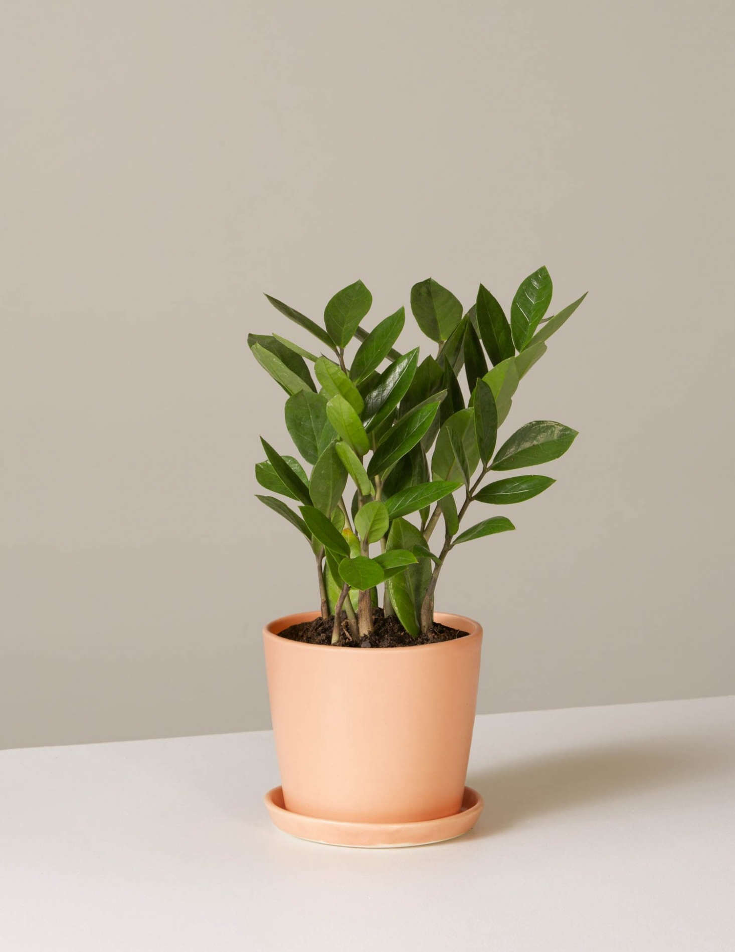 One of the least-demanding houseplants out there, Zamioculcas zamiifolia, the ZZ plant, is a favorite Sill starter option: it&#8