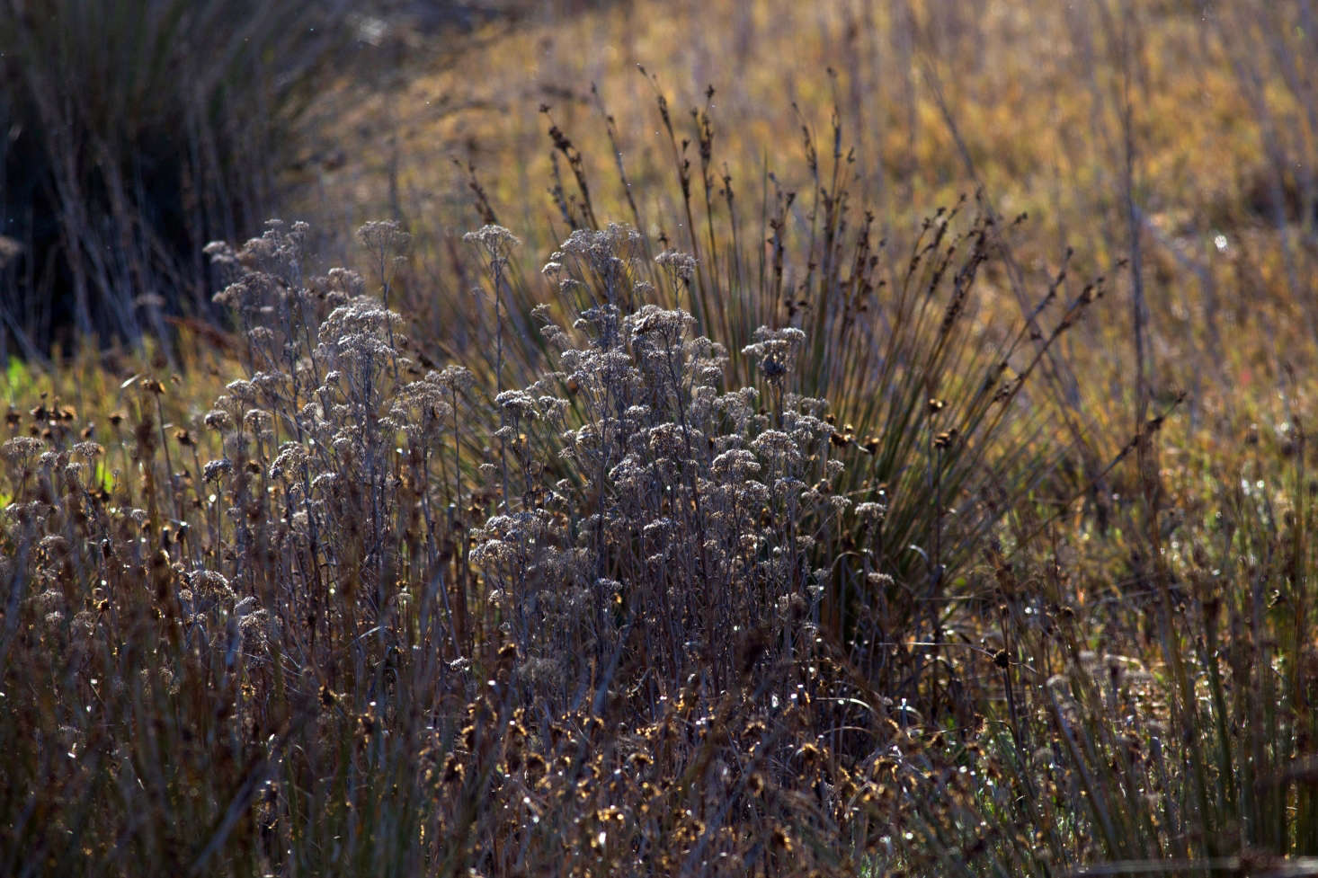 Grasses and perennials in December at Torrey Pines Nature Reserve in La Jolla, California. Photograph by Anne Reeves via Flickr.