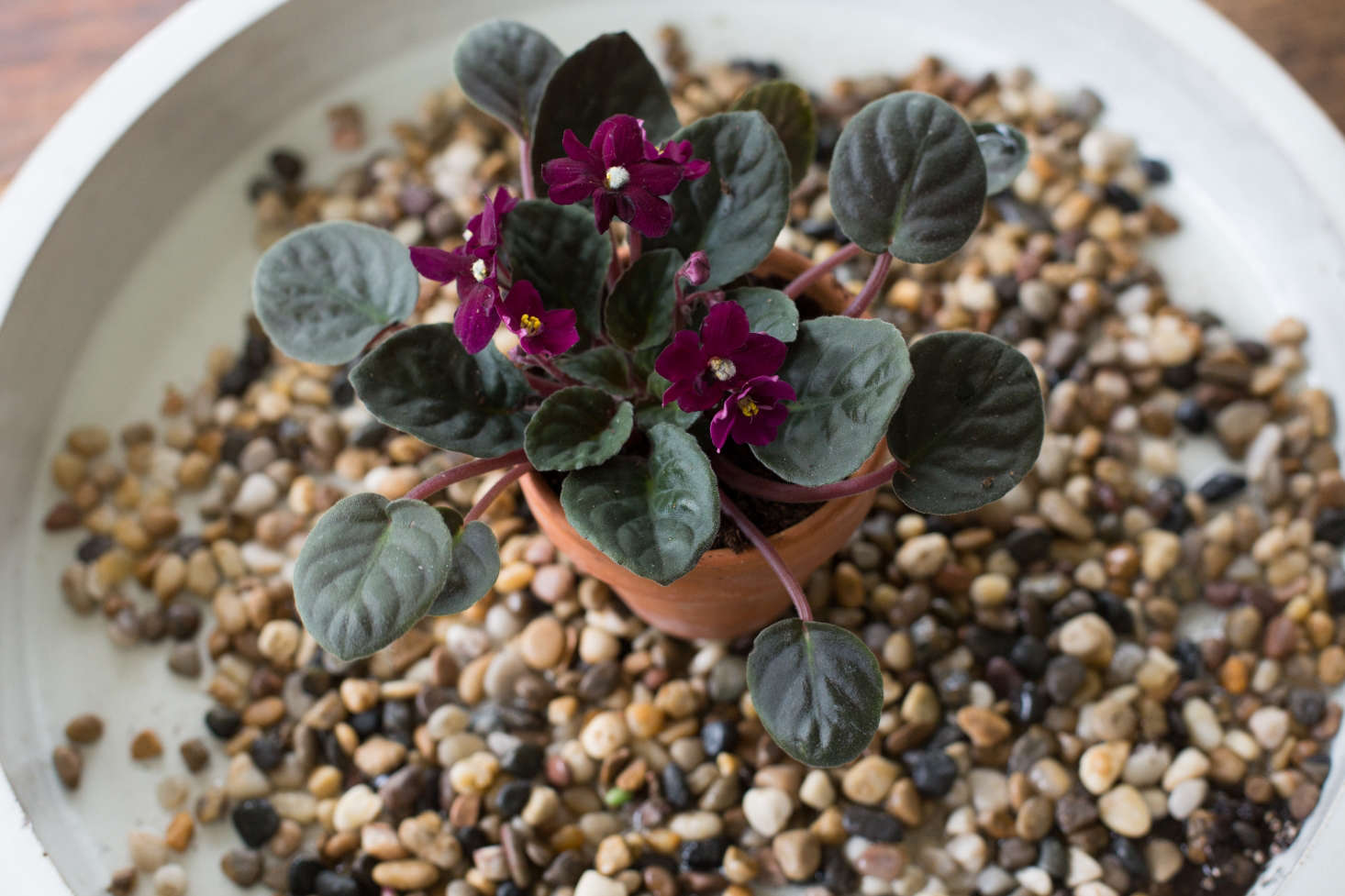 African violets thrive in humid conditions. Increase humidity levels by setting their pots on a layer of wet gravel; as the water evaporates, they&#8