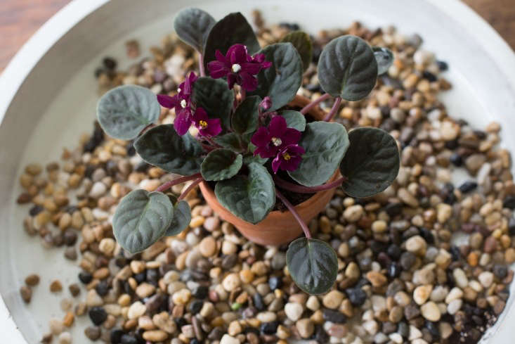 African violets love humidity. In the absence of steam radiators, you can keep yours happy if you put it in a tray on top of a wet gravel bed.