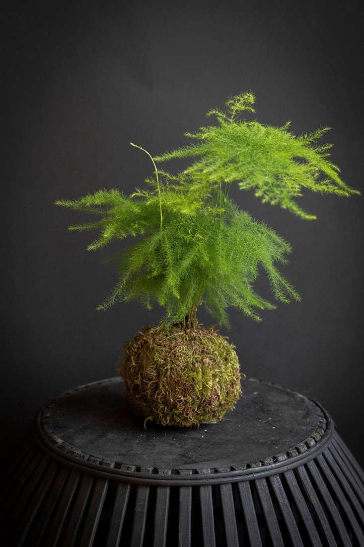 An Asparagus Fern Kokedama is $.99 from PlantsbyFern on Etsy.