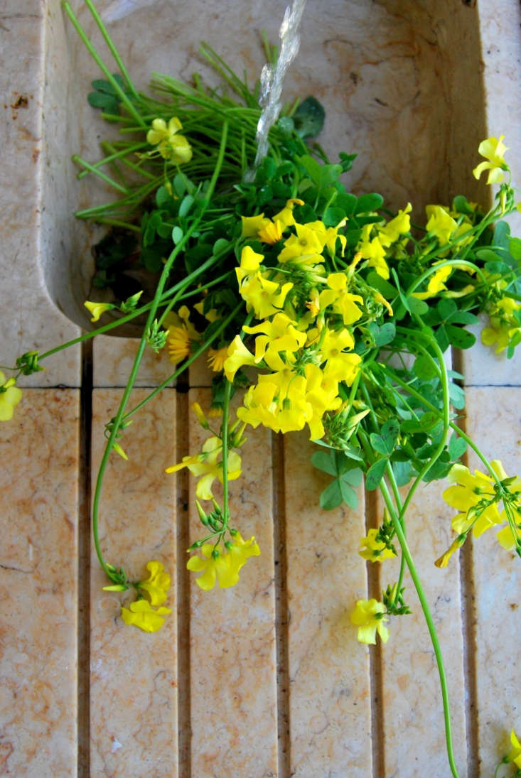When bringingOxalis pes-caprae indoors, carefully wash the flowers and give them as much water as possible before arranging.