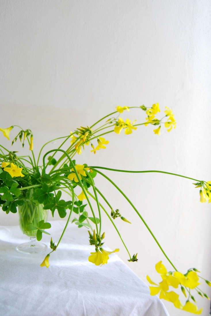 Other names for Bermuda buttercup (in Portuguese) are Flores de Trevo (which translates as flowers of clover) and Azedas (sorrel).