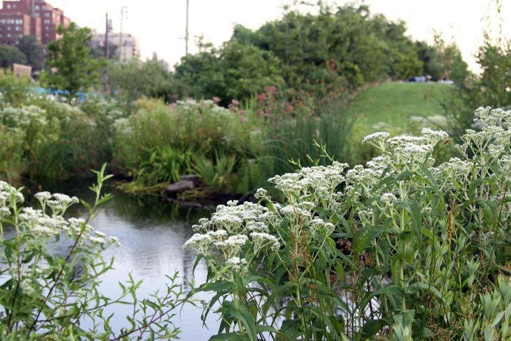 Boneset (Eupatorium perfoliatum) in bloom at Brooklyn Bridge Park. Photograph by Erin Boyle.
