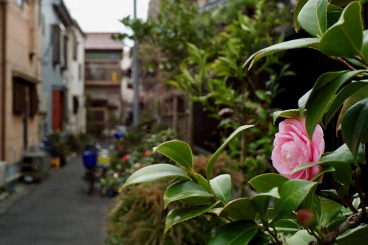 A camellia shrub in bloom in Tokyo. Photograph by Mrhayata via Flickr.
