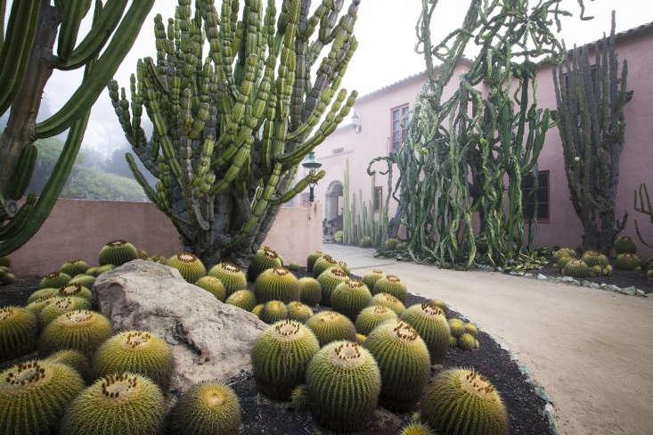Golden barrel cactus (Echinocactus grusonii) contrasts with giant weeping succulents Euphorbia ingens by the house.