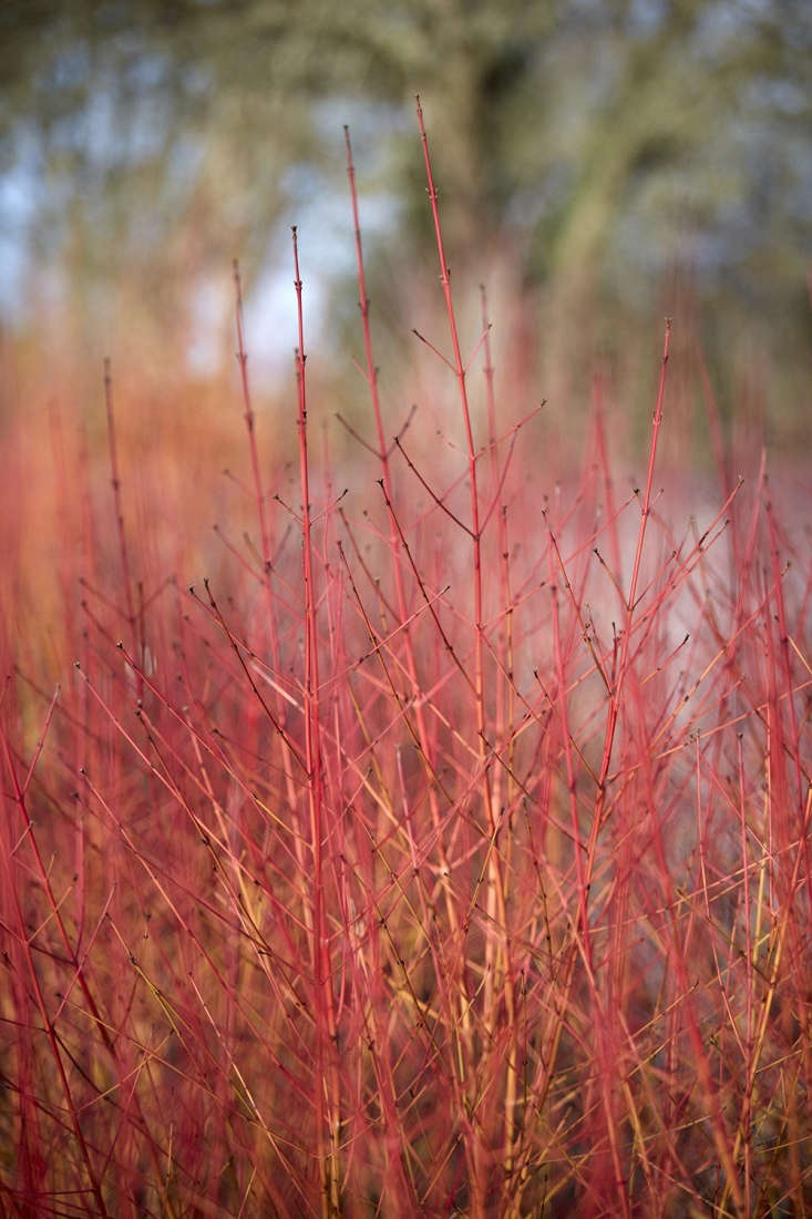 Burning bushes.Cornus sanguinea &#8\2\16;Midwinter Fire&#8\2\17; flaming away at the Royal Horticultural Society&#8\2\17;s headquarters at Wisley.