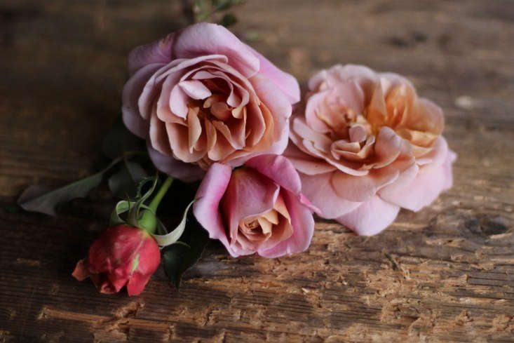 &#8\2\16;Distant Drums&#8\2\17; from bud to blown. A favorite with designers, this rose holds well in all stages.