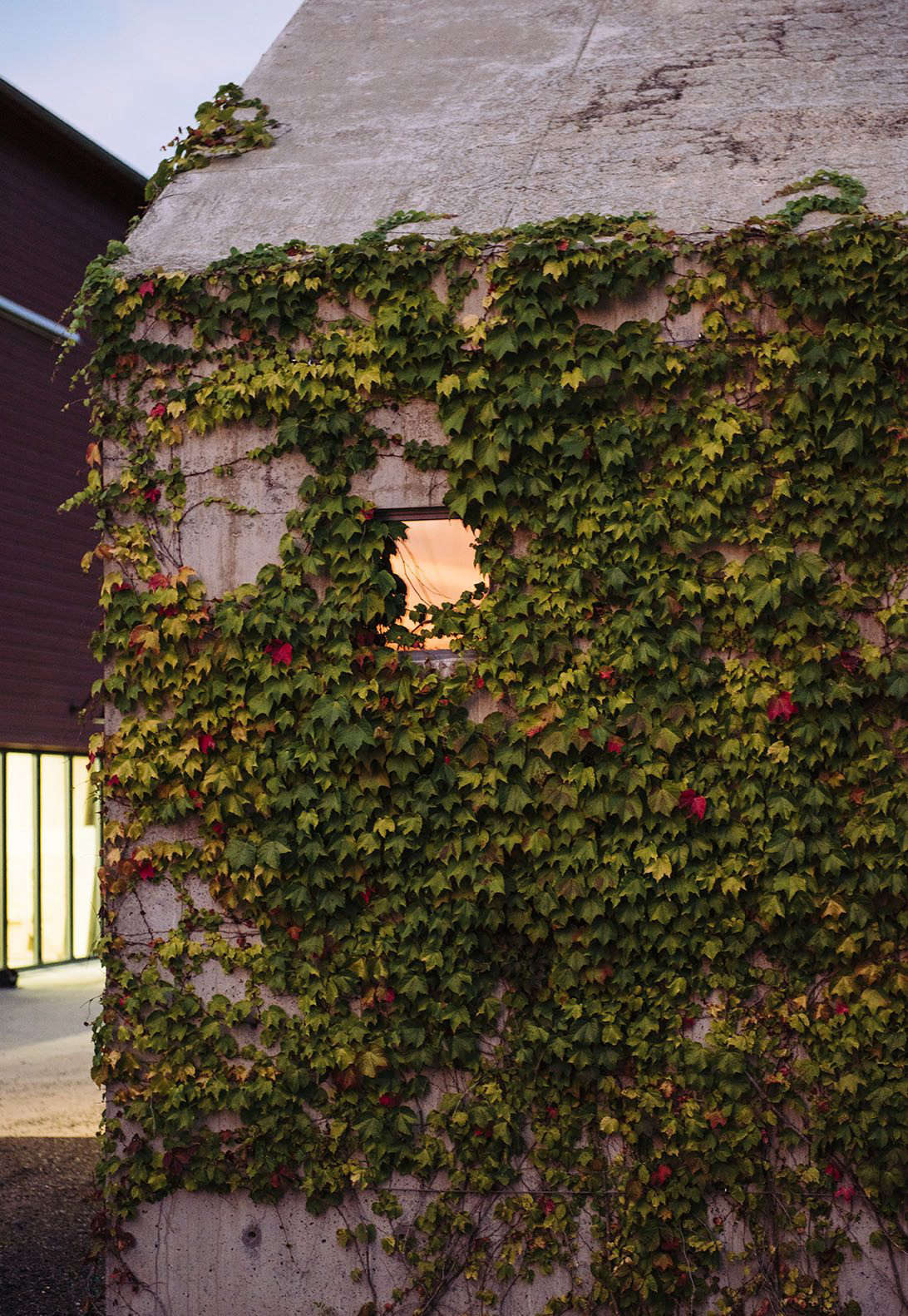 The ivy cover forces the studio to shift with the seasons: Boston ivy leaves &#8