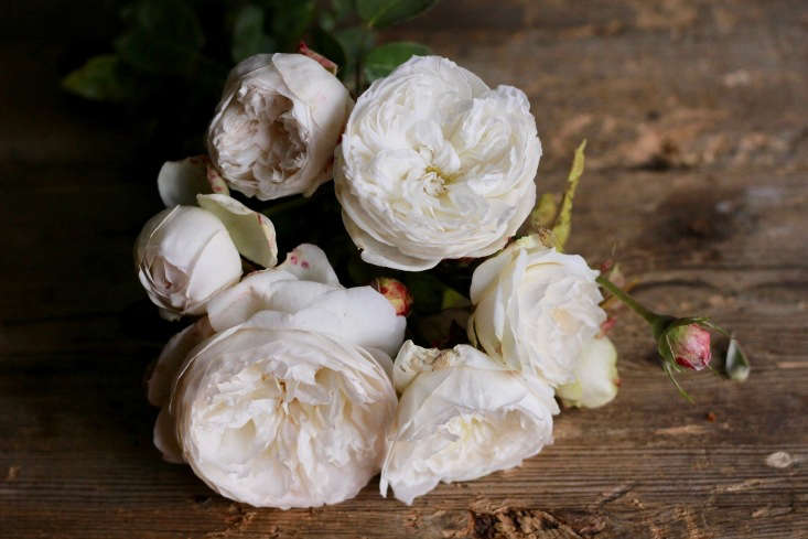 The English shrub rose 'Fair Bianca'. Strongly scented, this rose has a tidy habit, growing to only