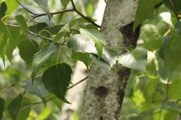 The airy leaves of a gray birch tree. Photograph by Dan Nydick via Flickr.