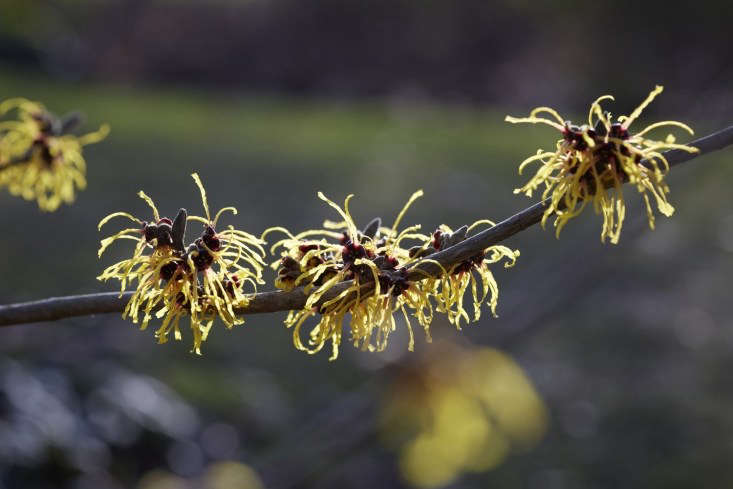 &#8\2\16;Barmstedt Gold&#8\2\17; witch hazel.A sunny position will bring the color alive.