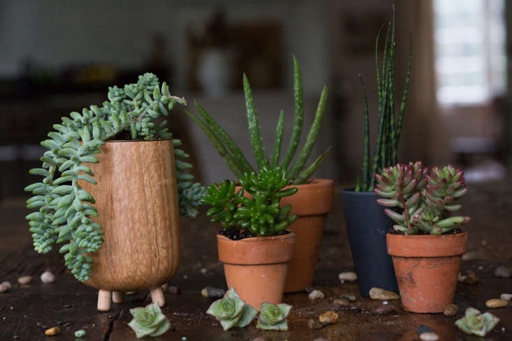 From left, hardy varieties of succulents include burro&#8\2\17;s tail, a sedum, an aloe, a snake plant, Sedum &#8\2\16;Pork and Beans&#8\2\17;, and (in front) Sedum &#8\2\16;Golden Glow&#8\2\17;.