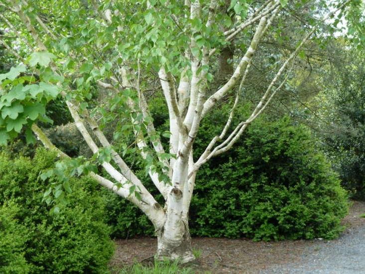 At Kilkenny Castle in Ireland, a Himalayan birch (Betula utilis var. jacquemontii). Photograph by Wendy Cutler via Flickr.