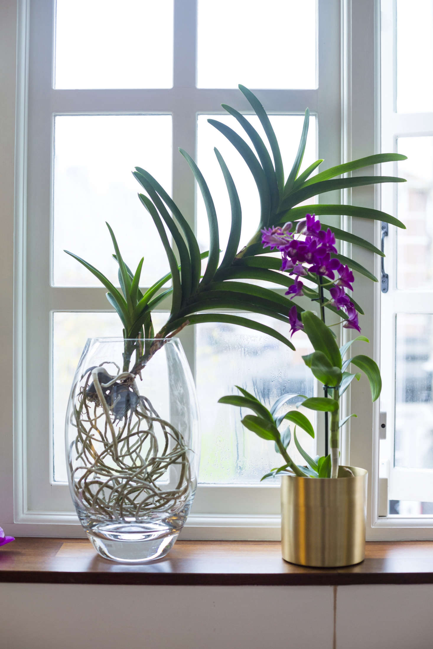 A Vanda orchid (L) and a Dendrobium orchid share a sunny spot on a windowsill.