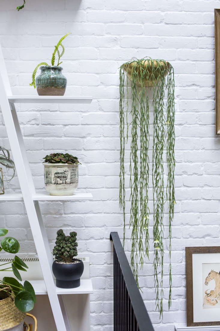 A Hoya linearis (also known as a wax plant) cascades in waves from a wall-mounted planter.