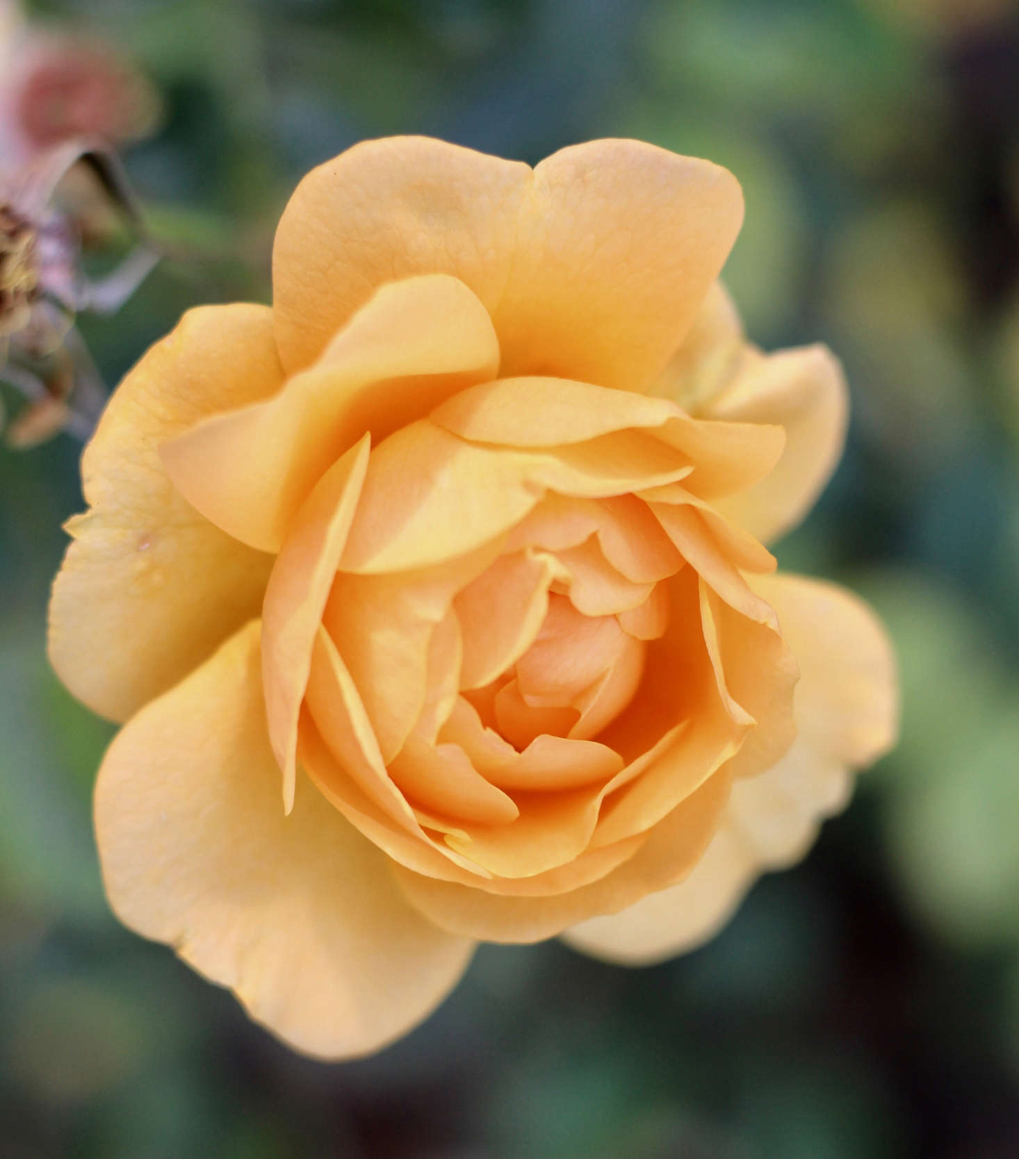 Hardy to USDA Zone 4, 'Julia Child' blooms for months, can be pot-grown,and holds well in the vase.