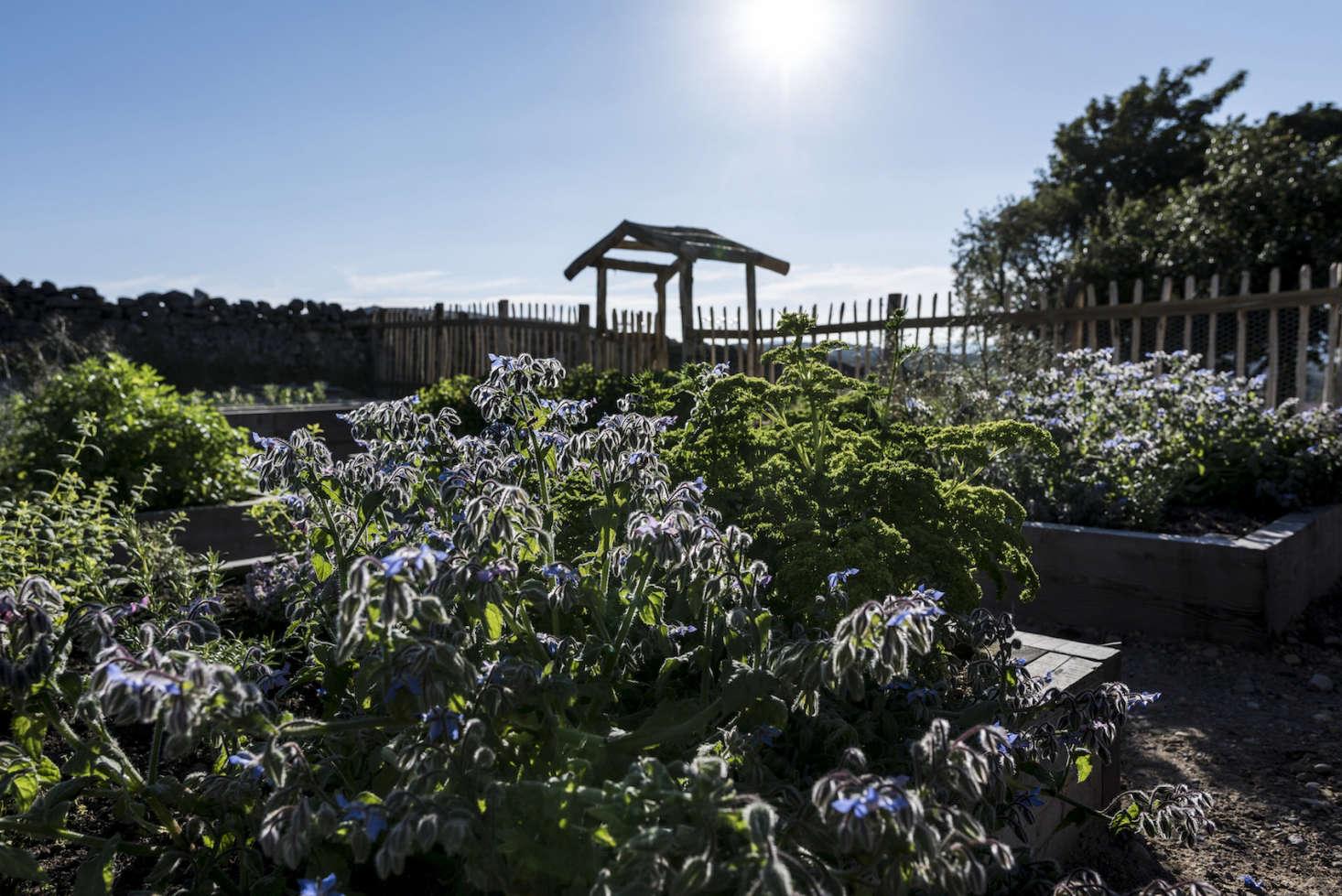 Self-seeding borage grows in abundance in the vegetable garden.