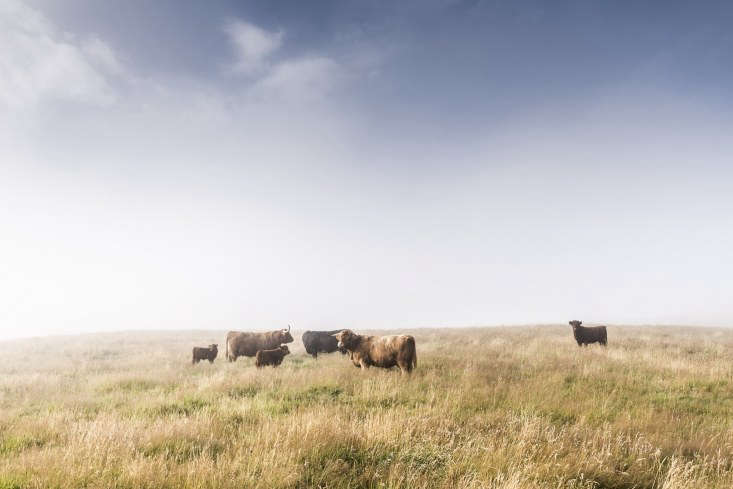 Highland cattle have plenty of pasture land on the4,000-acre estate.