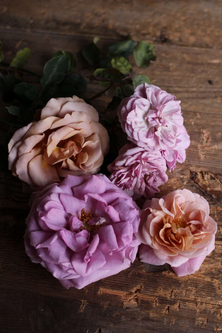 'Koko Loco', 'Florence Delattre', 'Neptune', and 'Distant Drums' at Rose Story Farm.