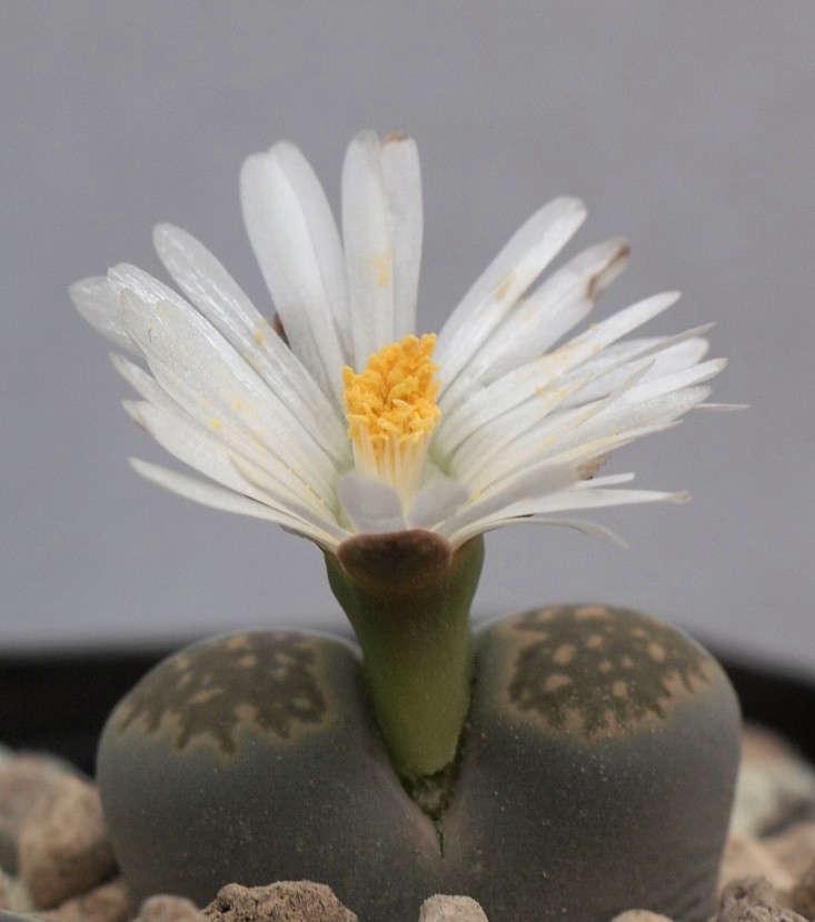 Lithops salicola in bloom. Photograph by Dornenwolf via Flickr.